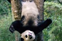panda's / zo lui maar zo schattig