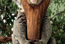 Süße koalabären