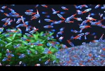 Peixes de Água Doce - Tetras