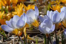 Bloembollen voor het voorjaar (in het najaar planten) / Plant de mooiste bloembollen in je tuin! Daar zul je in het voorjaar veel plezier van hebben! Alle bloem(bollen) op deze pagina zijn te koop bij online tuincentrum Warentuin. Ga snel naar www.warentuin.nl.