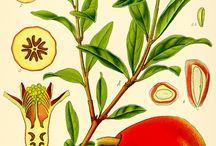 Flora - Pomegranate & Figs