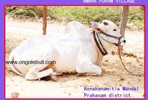 Ongole Bull Photos