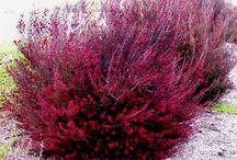 Australian tea bush