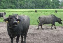 (Water) buffels / Buffels