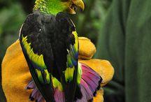"""Touit / L'origine del nome """"touit"""" attribuito a questo genere di piccoli pappagallini sudamericani deriva dal termine """"tuiete"""", che in lingua Tupi significa appunto """"piccolo pappagallo"""". Fanno parte di esso otto specie di pappagallini di piccola taglia, dalle forme compatte e dalla coda relativamente corta.   http://www.pappagallinelmondo.it/touit.html"""