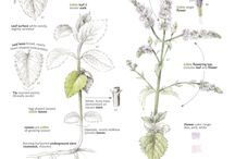 Foraging & Feasting Plant ID Pages Illustrated by Wendy Hollender / These illustrations appear in the book: Foraging & Feasting: A Field Guide & Wild Food Cookbook by Dina Falconi and Illustrated by Wendy Hollender. Buy the book at www.botanicalartspress.com.