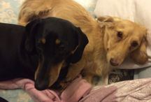 Leo & Grace Kelly the most gorgeous mini dachshunds / Dachshunds