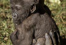 Μαϊμού