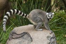 ANIMAL • Lemur