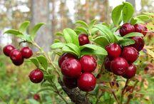 Lingonberry (Vaccinium vitis-ideae)