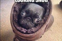 Cute pugs  / Omg the cutest pugs ever