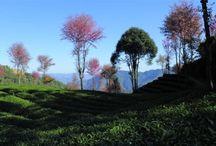 Tea Landscapes / Images of Tea Regions & Tea People