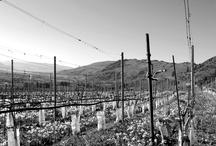 2013 Seasonal Musings / The season is coming to life in the Culmina vineyard!
