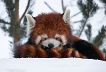 Animal Kingdom || Red Panda ||