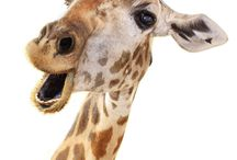 Giraffe Life / Pictures of giraffes because they're amazeballs!