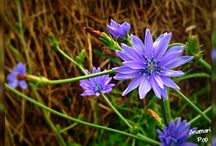 Blue flower / Wildflower