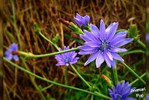 Blue flower / Wildflower