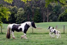 Our Twin Gypsy Cob Foals