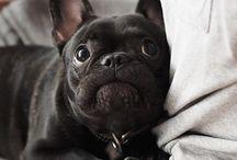 French Bulldog / 0
