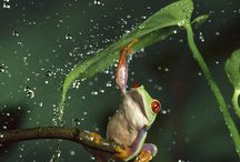 Frog/ grenouille