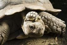 Schildpadden.