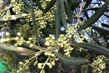 LUQUE Olivar Ecologico - LUQUE Organic olive grove / Actividades agricolas y olivar ecologico - Farming works and Organic olive grove