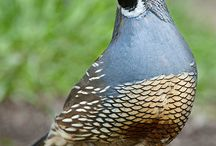 Ornamental and Gamebird Quail / Gamebird quail such as Bobwhite and Coturnix; Ornamental Quail such as the Valley or California, Button, and other beauties.