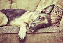 German Shepherds/Foster Dogs