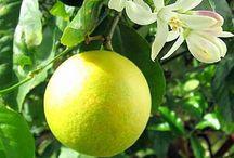 Citrus Tree Plants