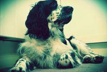 My dog / Springer spaniel