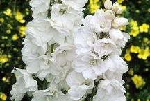 White delphiniums