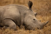 #JustOneRhino Campaign / Rhinos are being killed at a rate of one EVERY 7 HOURS! If something drastic isn't done, the rhinos in Africa could be extinct in as little as 10 years. Support the campaign at http://travelersbuildingchange.org/. / by Nick's Travel Bug