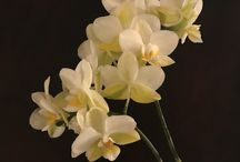 ORCHIDS - Katherine Jeans / Orchid paintings by Katherine Jeans visit my paintings for sale at www.theartshoppingchannel.com