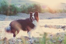 Border Collies / <3..I'm a proud owner of a beautiful Border Collie,named Toby(New Gold Box) I love this breed!