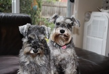 I Love Schnauzies / Pictures of our mini schnauzers sisters.