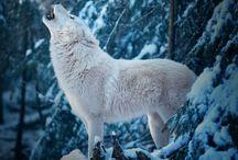 mon animal préférer: le loup