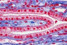 Histology / by Amy DeRoche