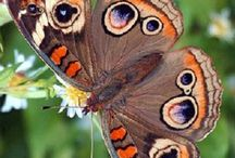 Butterflies and Native Plants / #pollinators #naturalgardening #nativeplants