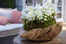 Helleborus Verboom Beauty / Helleborus Verboom Beauty is een prachtige plant voor binnen en buiten. Deze plant mag niet ontbreken tijdens de donkere winterdagen rond kerst in u interieur.