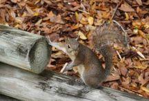 Assiniboine Squirrel