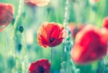 Klaprozen/Poppies.