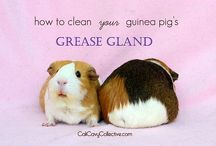 Guinea Pig & Other Small Animal Care