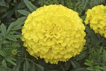 MARIGOLDS / Varieties and Colours