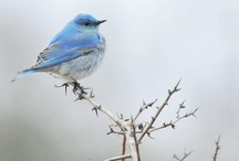 Blue Birds of Happiness / All kinds of blue birds big & small