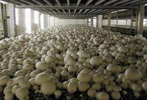 small business ideas/how to grow mushroom s