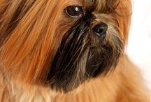 Shih Tzu / Solid Gold