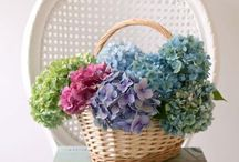 Hydrangea simple beautiful