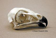 Bones/Anatomy