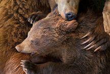 Anatomia niedźwiedzi / Bears anatomy