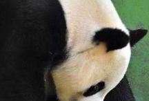 Pandas♡♡